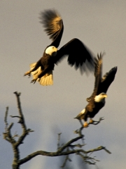 eagleflight300