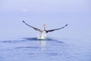 pelicanfly300