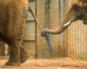elephants300