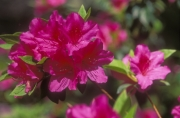 Azaleas blooming in spring in South