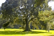 Beautiful live oak tree