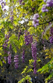 wisteria300